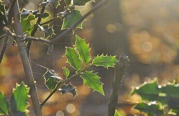 duurzame kerstbomen, de hulst in de natuur